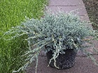 Bild Juniperus squam. Blue Carpet C 7,5l.jpg anzeigen.
