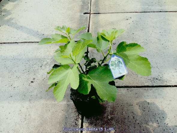 http://gardenpic.landgard.de/cache/vs_fruits__and__berries_berries_Ficus_Ficus%20carica%20Kadota%20C5%201-JPG.jpg