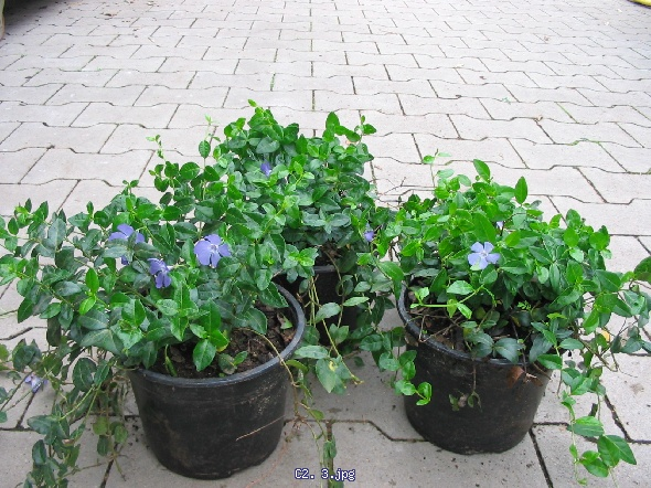 http://gardenpic.landgard.de/cache/vs_ground__cover__plants_Vinca_C2-%203-jpg.jpg