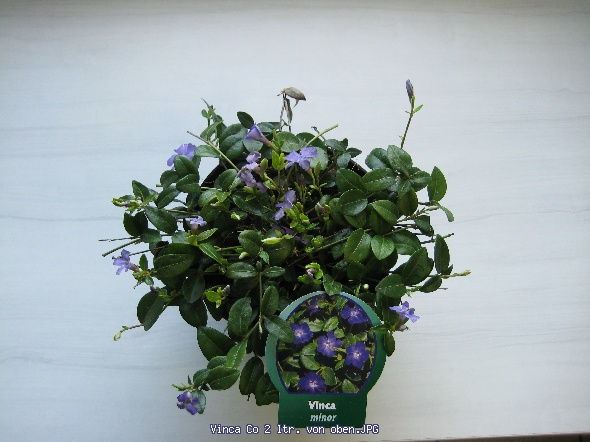 http://gardenpic.landgard.de/cache/vs_ground__cover__plants_Vinca_Vinca%20Co%202%20ltr-%20von%20oben-JPG.jpg