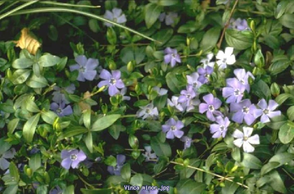 http://gardenpic.landgard.de/cache/vs_ground__cover__plants_Vinca_Vinca%20minor-jpg.jpg