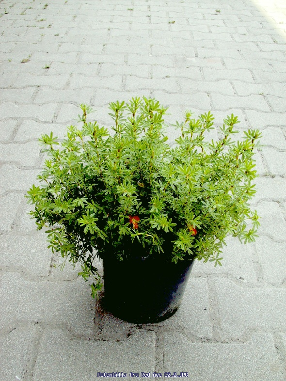http://gardenpic.landgard.de/cache/vs_shrubs_Potentilla_fructosa__Red%20Ace_Potentilla%20fru%20Red%20Ace%20C2-2-JPG.jpg